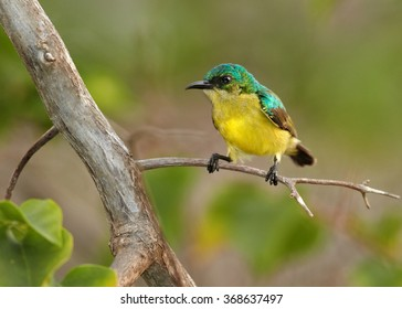 Tiny colorful female Collared Sunbird Hedydipna collaris,nectar feeding african bird, bright yellow chest and metallic green head, perched on twig. Blurred  forest in baground. Zanzibar.