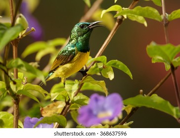 Tiny colorful male Collared Sunbird  Hedydipna collaris,nectar feeding african bird, bright yellow chest and metallic green head, perched on twig in violet  flowering bush. Zanzibar.