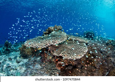 Tiny, colorful reef fish hover above protective coral colonies near Alor, Indonesia. This remote, tropical region, within the Coral Triangle, harbors extraordinary marine biodiversity.