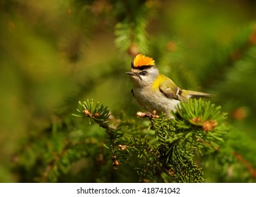Tiny, colorful songbird, Common Firecrest, Regulus ignicapillus, male perched on spruce twig, shows erected, bright orange crest, prepares for fight. European spring forest in background. Europe.