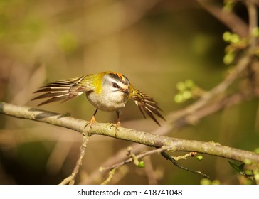 Tiny, colorful songbird, Common Firecrest, Regulus ignicapillus, male perched on twig with outstretched wings against blurred green spruce forest in background. Europe, Czech republic
