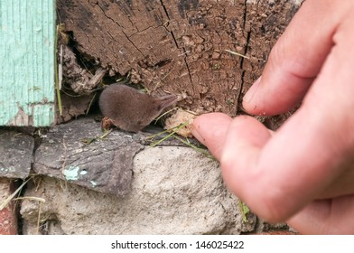 Tiny common shrew (Sorex araneus) looks at crumb near man hand from crack of wooden beam on house foundation. Kaluzsky region, Russia.