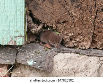Tiny common shrew (Sorex araneus) sits in crack of wooden beam on house foundation. Kaluzsky region, Russia.