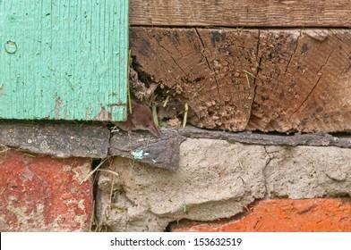 Tiny common shrew (Sorex araneus) sits in crack of wooden beam on house foundation. Kaluzsky region, Russia.