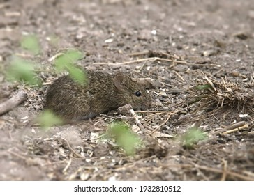 Tiny Cotton Mouse (peromyscus gossypinus) foraging on bare ground