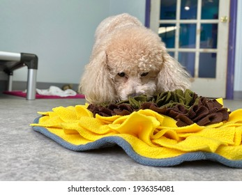 Tiny cream colored purebred miniature poodle searching for food in the snuffle mat in her pet boarding suite at the positive reinforcement canine enrichment training center