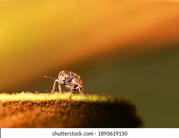 Tiny Curculionoidea insect, commonly called Weevil or Snout and Bark Beetle, known for its elongated snouts. Brown orange blurred background