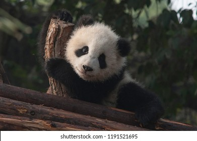 Tiny cute panda playing on a wooden structure
