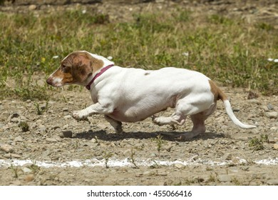 Tiny Dachsund tries hard in the race in Rathdrum, Idaho.