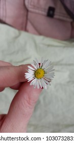 Tiny daisy, wild daisy in a hand, little flower, pieceful time in the nature, closeup chamomile, summer time