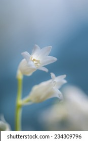 Tiny and delicate bell shaped white flower on blue background, close-up with room for copy space.