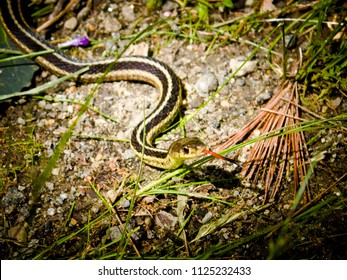 Tiny Eastern Ribbon Snake with it's Tongue Out on a Rocky, Grassy Path