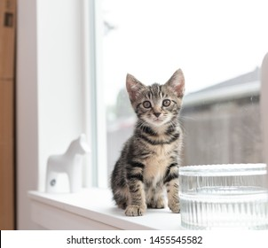 Tiny Eight Weeks Old Tabby Kitten  on Window Sill Looking Around