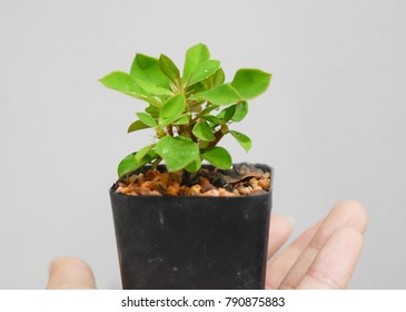 A tiny Euphorbia milii fresh tree in a window box on a hand holding with white background to represent a planting campaign to prevent earth from a global warming and green house effect situation