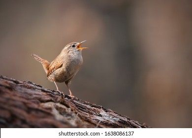 Tiny eurasian wren, troglodytes troglodyte, singing in spring forest with copy space. Small songbird sitting on a tree with open beak and calling. Wild bird in woodland.