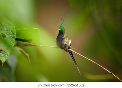 Tiny extraordinary shining grass green crested hummingbird Popelairia popelairii Wire-crested Thorntail perched on diagonal twig. Front view. Green blurred forest plants in background. Nice bokeh.