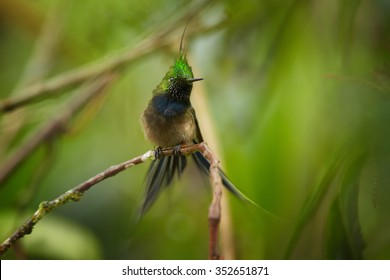 Tiny extraordinary shining grass green crested hummingbird  Popelairia popelairii - Wire-crested Thorntail perched on diagonal twig with outstretched tail. Green blurred plants in background.