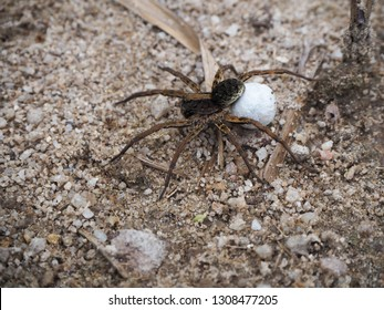 Tiny female wolf spider carrying her egg sac that is attached to her spinnerets.