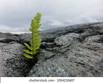 Tiny fern seedling sprouting from new black lava rock