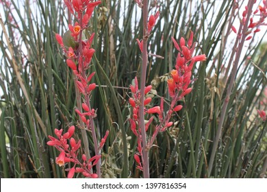 tiny flowers and buds on red yucca stalks 5540