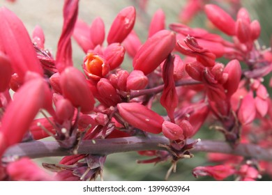 tiny flowers and buds on red yucca stalks 5444