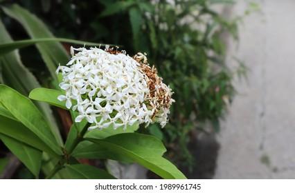 Tiny flowers of white Ixora or West Indian Jasmine (Ixora Coccinea, jungle geranium, Siamese White Ixora, Ixora Lucida) Blooming in the garden blurred background. Selective and soft focus. Thailand