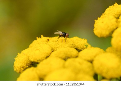 Tiny fly sitting on a yellow flower.