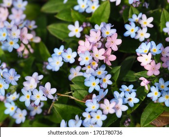 Tiny forgetmenots in bloom, pink and blue