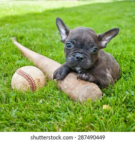 Tiny French Bulldog puppy laying in the grass outdoors with a baseball and bat.