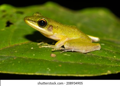 Tiny frog on a jungle leaf at night