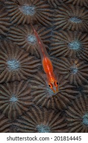A tiny ghost goby lays on a coral colony (Diploastrea sp.) on a reef in Indonesia. Gobies are the most common species found in the Indo-Pacific region.