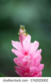 Tiny glass frog on exotic flower