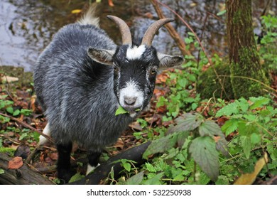 tiny goat eating leafs beside stream