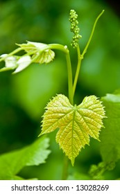 tiny grapes growing on the vine