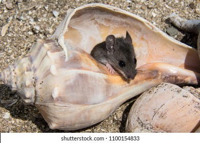 A tiny gray field mouse, peromyscus maniculatus, jumping out of a pink and orange conch shell with other shells, and beach sand in the background. The rodents full head and front legs are visible.