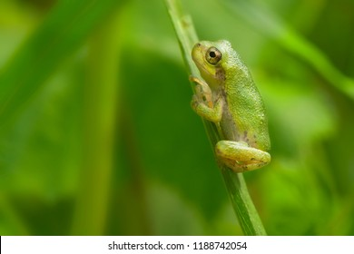 A tiny Gray Tree Frog is clinging to a blade of grass. Rouge National Urban Park, Toronto, Ontario, Canada.