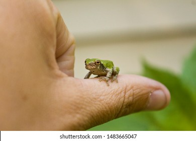 Tiny Green Frog on a Giant Leaf