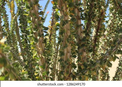 Tiny green leaves of Ocotillo plant, Fouquieria splendens, in the California desert on a sunny day with blue skies.