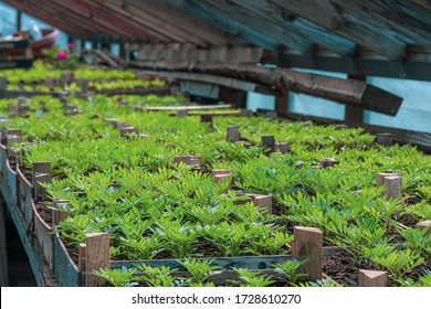 tiny green seedlings in a nursery in a greenhouse in the spring