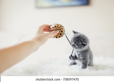 Tiny grey kitten in a playful mood grabbing a toy with his paw and mouth. British shorthair cat.