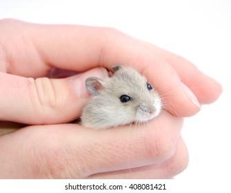 Tiny hamster hiding in human hands (selective focus on the hamster eyes) isolated on white