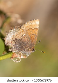 Tiny Henry's Elfin butterfly enjoying spring sun while resting on a briar vine