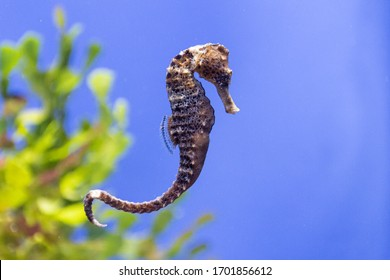 Tiny horsefish hangs in in the water of tropical sea against green and yellow seaweed