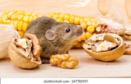 Tiny house mouse (Mus musculus) along walnut and corn seeds