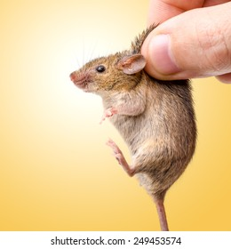Tiny house mouse on yellow (Mus musculus) being held by human fingers