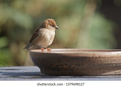 Tiny house sparrow just before she takes a bath