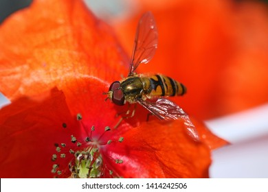 tiny hover fly or flower fly Latin Eupeodes volucris, family Syrphidae feeding on a common poppy petal Latin papver rhoeas in springtime very close up