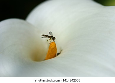 tiny hover fly or flower fly Latin Eupeodes volucris, family Syrphidae feeding on an arum lily or calla lily zantedeshica aethiopica family araceae in springtime very close up