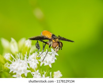 Tiny hover fly on wild flower artistic effect macro photography