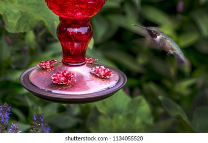 A tiny hummingbird hovers near a feeder for delicious nectar